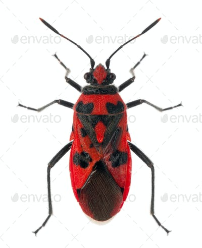 High angle view of Scentless plant bug, Corizus hyoscyami, in front of white background