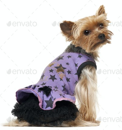 Yorkshire Terrier wearing purple dress in front of white background