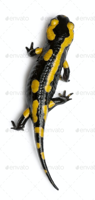 Fire salamander, Salamandra salamandra, in front of white background