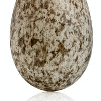 House Sparrow egg, Passer domesticus, in front of white background