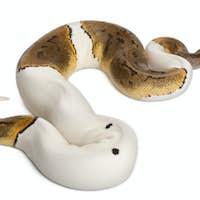 Female Pinstripe Pied Royal python