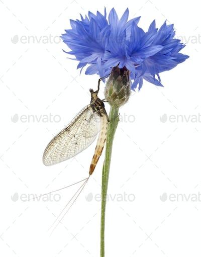 Mayfly, Ephemera danica, on flower in front of white background