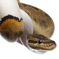 Close-up of Female Pinstripe Pied Royal python