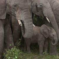 Elephants at the Serengeti National Park, Tanzania, Africa