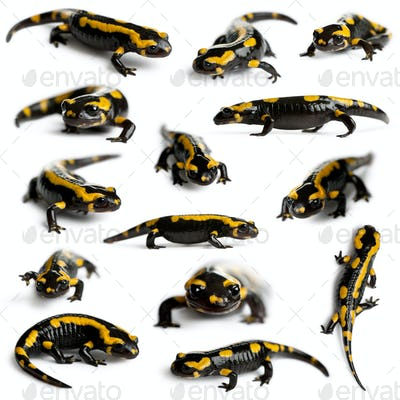 Collection of Fire salamanders, Salamandra salamandra, in front of white background
