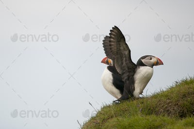 Atlantic Puffin or Common Puffin, Fratercula arctica, on Mykines, Faroe Islands