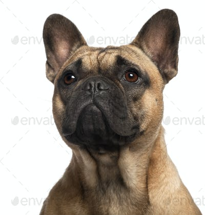 Close-up of French Bulldog, 11 months old, in front of white background