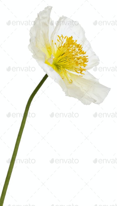 White Alpine poppy, Papaver alpinum, in front of white background
