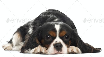 Cavalier King Charles Spaniel, 14 months old, lying in front of white background