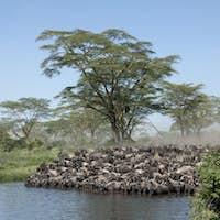 Herds of wildebeest at the Serengeti National Park, Tanzania, Africa