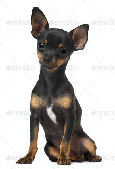 Chihuahua Puppy, 5 months old, sitting in front of white background