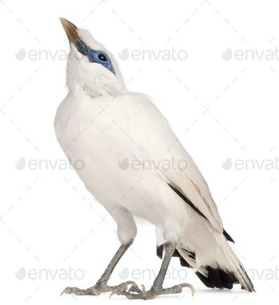 Rothschild's Swift, Cypseloides rothschildi, 5 years old, in front of white background