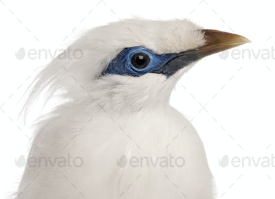 Close-up of Rothschild's Swift, Cypseloides rothschildi, 5 years old, in front of white background