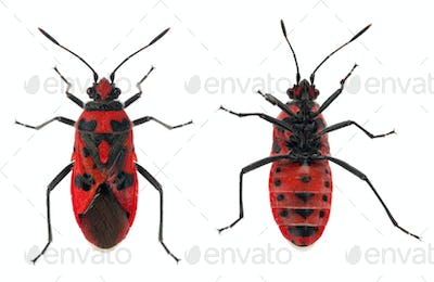 Bottom and top views of Scentless plant bug, Corizus hyoscyami, in front of white background