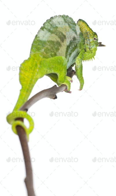 Four-horned Chameleon, Chamaeleo quadricornis, perched on branch in front of white background