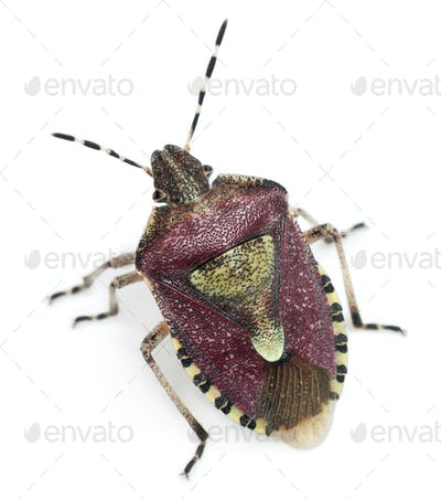 High angle view of Shield bug, Dolycoris baccarum, in front of white background