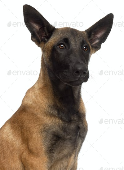 Close-up of Belgian Shepherd Dog, 4 months old, in front of white background