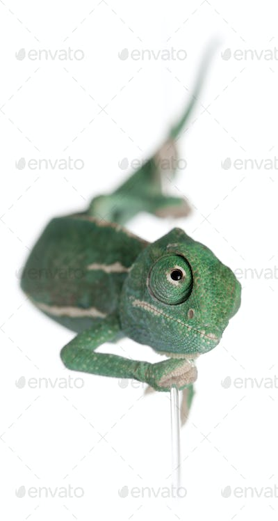 Young veiled chameleon, Chamaeleo calyptratus, climbing up a string in front of white background