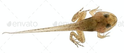 Common Frog, Rana temporaria tadpole with all legs, 12 weeks old, in front of white background