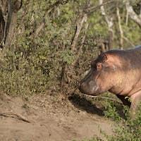 Hippo at the Serengeti National Park, Tanzania, Africa