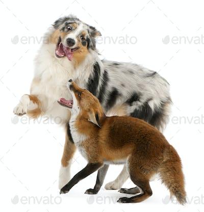 Red Fox playing with Australian Shepherd dog