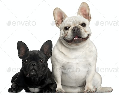 French Bulldogs, 2 years old, in front of white background