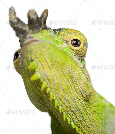 Close-up of Four-horned Chameleon, Chamaeleo quadricornis, in front of white background