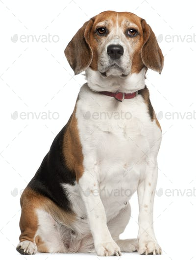 Beagle, 5 years old, sitting in front of white background
