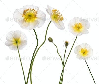 White Alpine poppy, Papaver alpinum, in front of white background