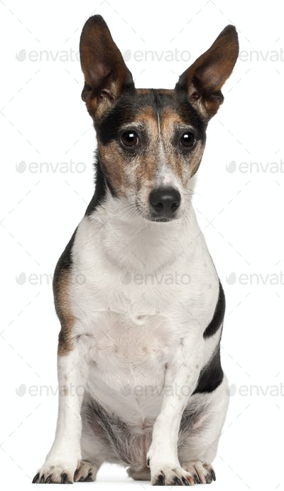 Jack Russell Terrier, 8 years old, sitting in front of white background