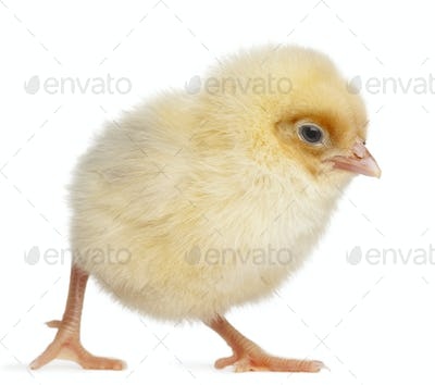 Chick, 2 days old, in front of white background
