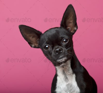 Close-up of Chihuahua, 18 months old, in front of pink background