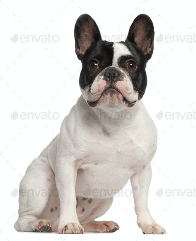 French Bulldog, 1 year old, sitting in front of white background