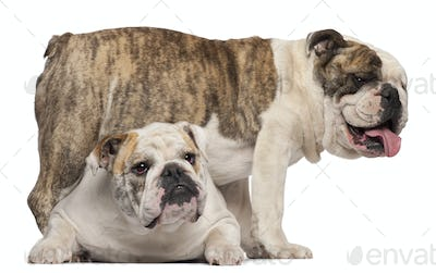 English Bulldog, 4 years old, and English Bulldog, 8 months old, in front of white background