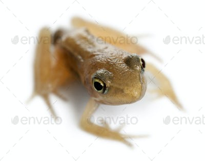 Nearly adult Common Frog, Rana temporaria, 16 weeks old, in front of white background