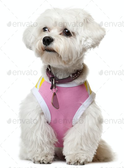 Maltese wearing pink shirt sitting in front of white background