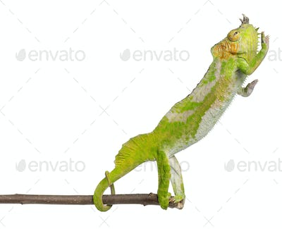 Four-horned Chameleon reaching away from it's branch