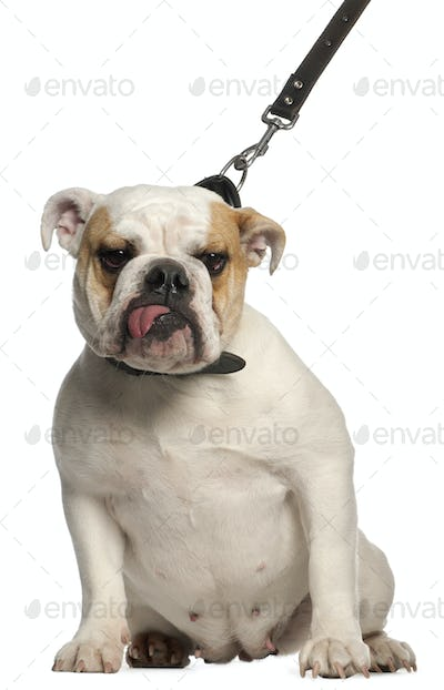 English Bulldog on leash, 1 year old, in front of white background
