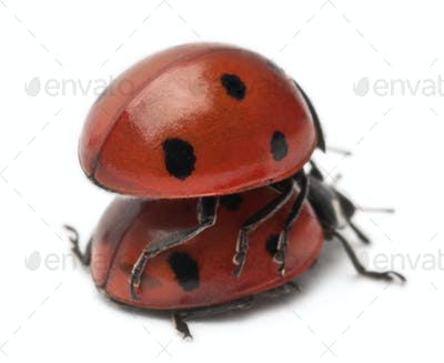 Seven-spot ladybirds mating, Coccinella septempunctata, in front of white background