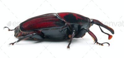Male Red palm weevil, Rhynchophorus ferrugineus, 3 weeks old, in front of white background