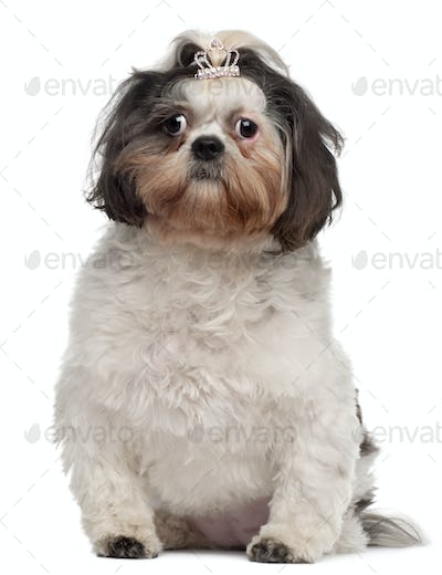 Shih Tzu with crown hair clip, 18 months old, sitting in front of white background