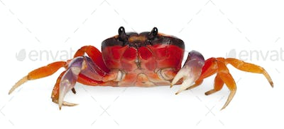 Red land crab, Gecarcinus quadratus, in front of white background