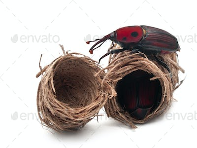 Red palm weevil, Rhynchophorus ferrugineus, and its cocoons in front of white background