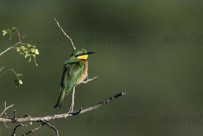Cinnamon-chested bee-eater, Merops oreobates, at the Serengeti National Park, Tanzania, Africa