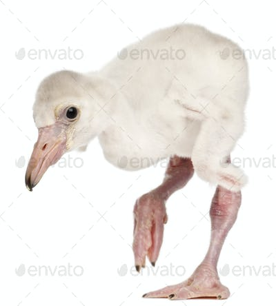 Greater Flamingo, Phoenicopterus roseus, 14 days old, in front of white background
