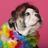 Close-up of English Bulldog puppy