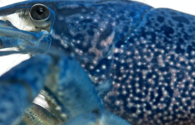 Close-up of Blue crayfish