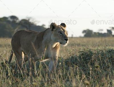 Lioness at the Serengeti National Park, Tanzania, Africa