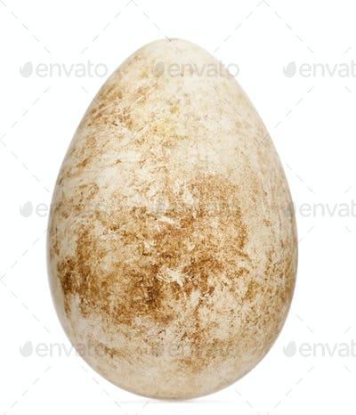 Egg of Atlantic Puffin