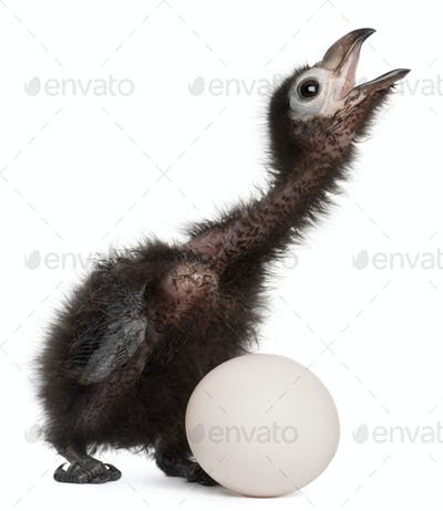 Ross's Turaco, Musophaga rossae, with his hatched egg, 1 week old, in front of white background